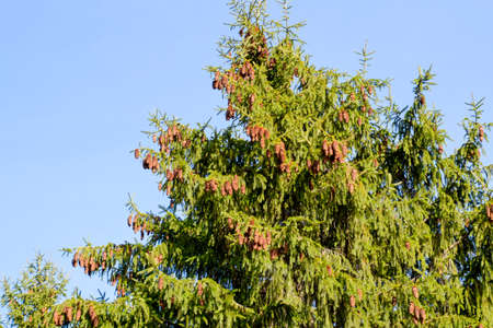 Branch of a Christmas tree with cones against the blue sky 写真素材
