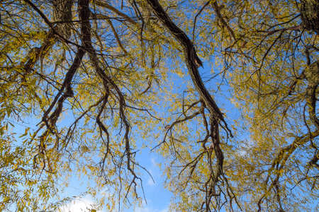 branches of willow against the sky. Yellow leaves