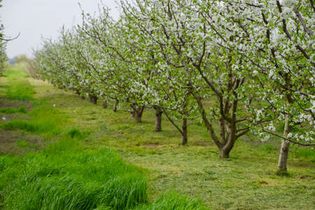 Flowering plum garden. Farm garden in spring.