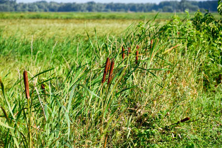 cattail growing near the rice field. Thickets of cattail. Brown basket with seeds.