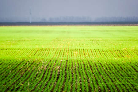 Spring winter wheat field. Shoots of wheat in a field on the ground. Cultivation of cereals. 免版税图像
