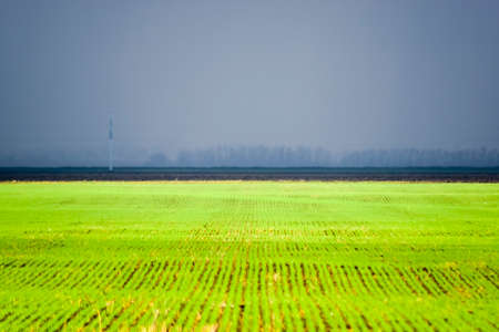 Spring winter wheat field. Shoots of wheat in a field on the ground. Cultivation of cereals. Banco de Imagens