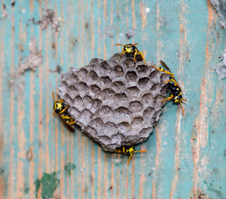 Nest of wasps in the old electrical switchboard. Wasp polist Standard-Bild
