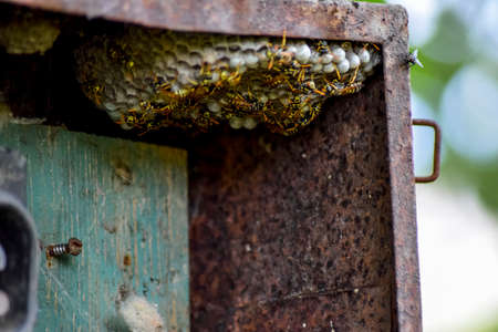 Nest of wasps in the old electrical switchboard. Wasp polist Stock Photo