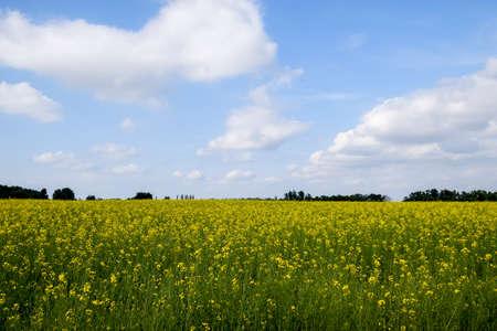 Rapeseed field. Yellow rape flowers, field landscape. Blue sky and rape on the field Stok Fotoğraf