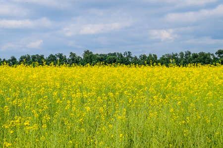 Rapeseed field. Yellow rape flowers, field landscape. Blue sky and rape on the field Reklamní fotografie