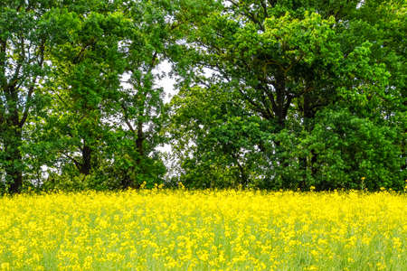 rapeseed field against the forest belt. Windbreak forest belt