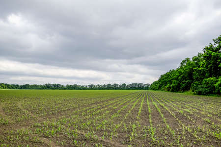 Cornfield. Small corn sprouts, field landscape. Cloudy sky and stalks of corn on the field