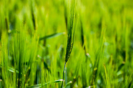 Field of green immature barley. Spikelets of barley. The field is barley, Rural landscape 写真素材