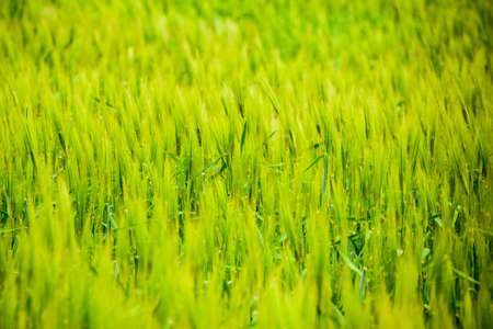 Field of green immature barley. Spikelets of barley. The field is barley, Rural landscape Reklamní fotografie