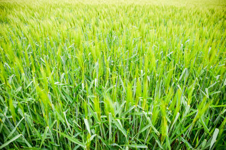 Field of green immature barley. Spikelets of barley. The field is barley, Rural landscape Imagens