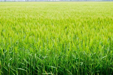 Field of green immature barley. Spikelets of barley. The field is barley, Rural landscape Reklamní fotografie
