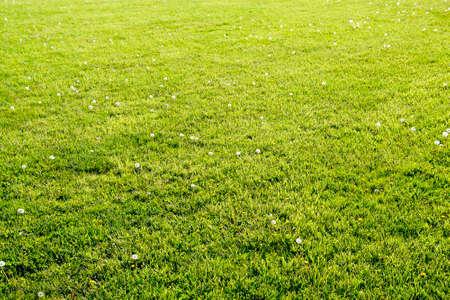 Dandelions in a meadow. Field of fluffy dandelions.