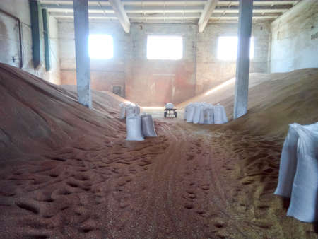 Heap of grains of barley and wheat in stock. Storage of grain crop before delivery to the consumer.