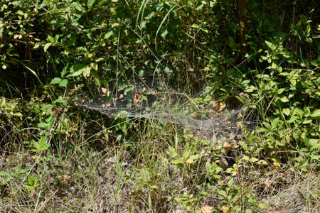 Spiders web of wolves on plants. Hunting spider web.