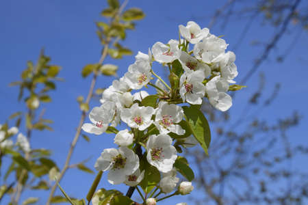 Blooming wild pear in the garden. Spring flowering trees. Pollination of flowers of pear. Stock Photo