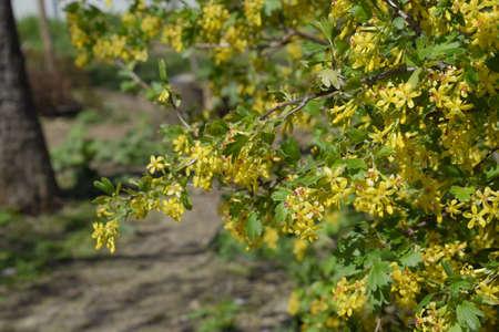 Flowering currant bush gold spring flowering garden berries stock flowering currant bush gold spring flowering garden berries stock photo 93817877 mightylinksfo