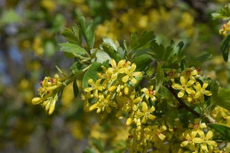 Flowering currant bush gold spring flowering garden berries stock flowering currant bush gold spring flowering garden berries stock photo 93817847 mightylinksfo