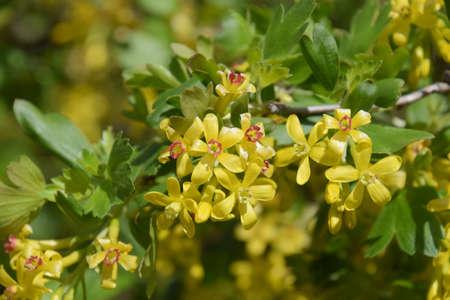 Flowering currant bush gold spring flowering garden berries stock flowering currant bush gold spring flowering garden berries stock photo 93817855 mightylinksfo