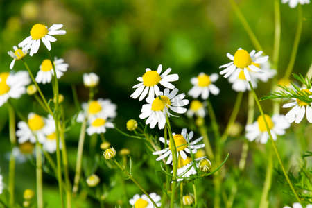 Glade of flowers of chamomiles. Flowering chamomile