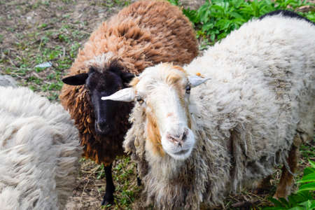 Sheep in the pasture. Grazing sheep herd in the spring field near the village. Sheep of different breeds. Stock Photo