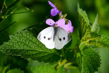 a Butterfly cabbage pollinates a purple flower Stock Photo