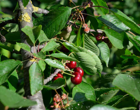Berries of sweet cherries on the branches of a tree. Ripe sweet cherry Stock Photo