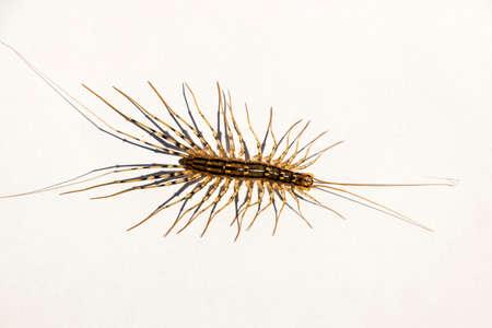 Scutigera coleoptrata. The Flycatcher. Centipede flycatcher insect predator Stock Photo