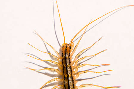 The Flycatcher. Centipede flycatcher, insect predator Scutigera coleoptrata Stock Photo