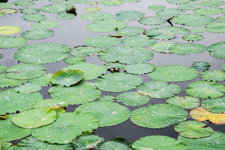Water-lilies. Leaves of lotus in the pond. Water drops on lotus leaves. 写真素材