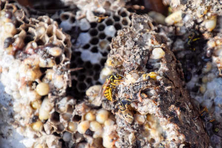 Vespula vulgaris. Destroyed hornet's nest. Drawn on the surface of a honeycomb hornet's nest. Larvae and pupae of wasps. Stock fotó