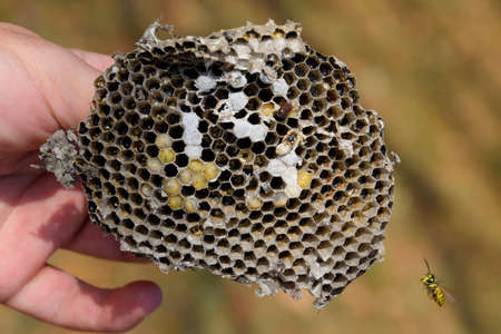 Sota from the nest of wasps. Vespula vulgaris. Destroyed hornets nest. Drawn on the surface of a honeycomb hornets nest. Larvae and pupae of wasps. Stock Photo