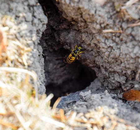 Vespula vulgaris. Wasps fly into their nest. Mink with an aspen nest. Underground wasps
