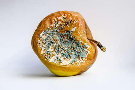 A rotten apple covered with a mold. Stock Photo