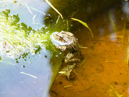The Green Frog. The amphibian frog is ordinary