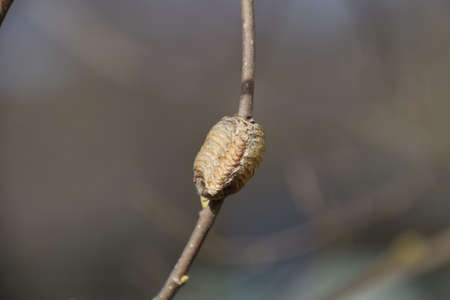 Ootheca mantis on the branches of a tree. The eggs of the insect laid in the cocoon for the winter are laid. Ooteca on a branch of hazelnut.