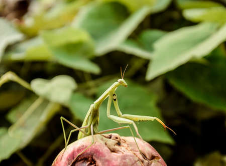 The male praying mantis on the apple. Mantis looking for prey. Mantis insect predator Stock Photo