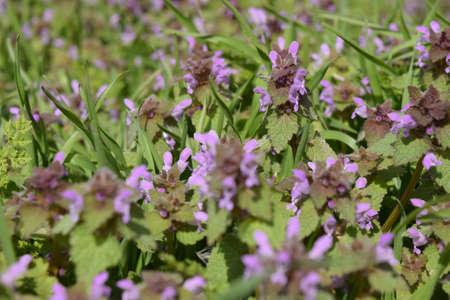 Lamium purpureum blooming in the garden. Medicinal plants. Stock Photo