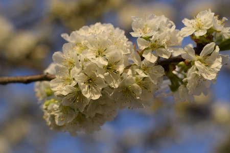 Prunus avium Flowering cherry. Cherry flowers on a tree branch.