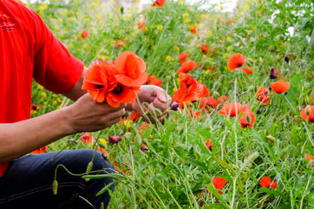 Tearing the poppies for a bouquet. Poppy flowers in the clearing. Blooming red wild poppy. Red poppy flowers. Stock Photo