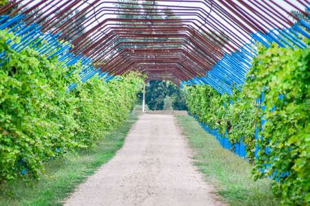 A large shed is a gazebo made of metal rods along a dirt road. Roadside gazebo made of steel for grapes. Blue grapes Stockfoto