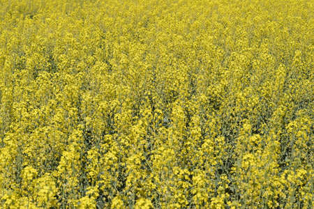 Rapeseed field. Background of rape blossoms. Flowering rape on the field Imagens