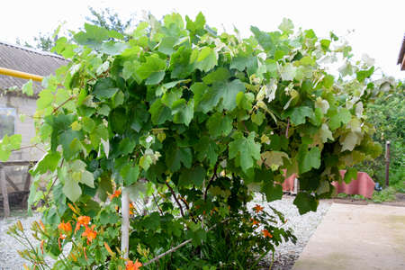 Pavilions with grapes. A lush grape bush. Stock Photo