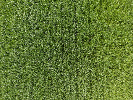 The wheat field is green. Young wheat on the field. View from above. Textural background of green wheat. Green grass