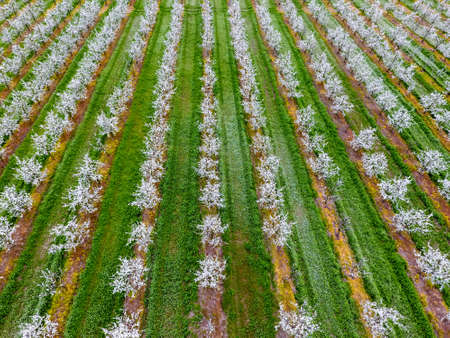 Blossoming young plum garden, top view. Span of the drone over the plum blooming garden Stock Photo