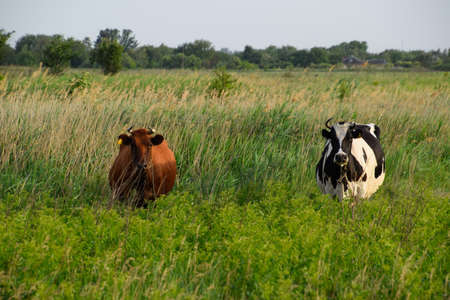 Two cows in the pasture. Brown and black-white cows. Cows look into the camera lens.