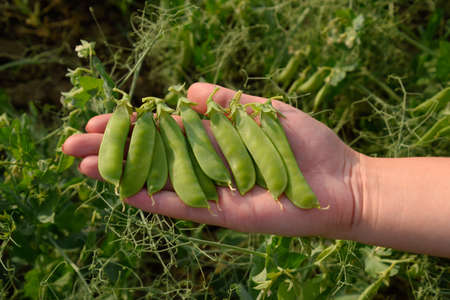 Pea pods in a womans hand. Green peas in the field. Pods of green peas.