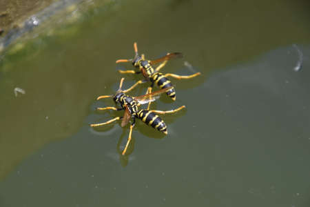 Wasps drink water from the pan, swim on the surface of the water, do not sink. Banco de Imagens