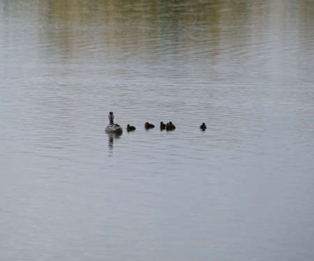 A duck with ducklings is swimming in a pond. Ducks swimming in the pond. Wild mallard duck. Drakes and females.