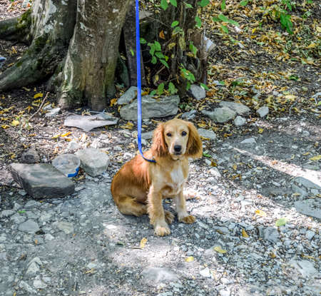 Red dog on a leash tied to the trunk of a tree. Stock fotó